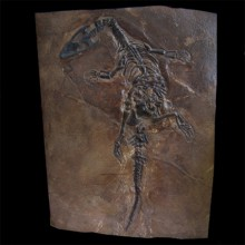 Nothosaurus sp copy