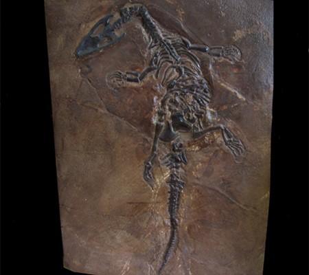Nothosaurus sp copy