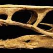 Sinovenator Raptor Skull