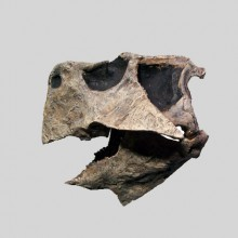 Psittacosaurus Skull copy